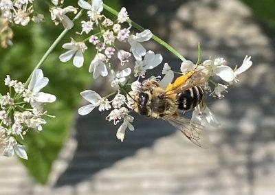 Insektengarten-Wildbiene